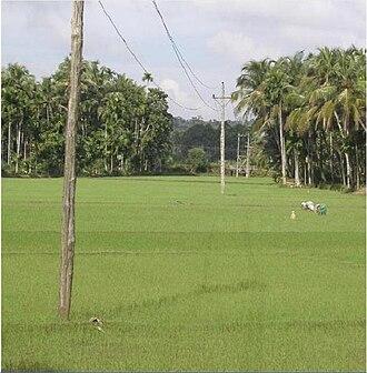 Cherukunnu - Paddy fields