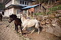 Nepalese horses pick a fight.jpg
