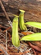 Nepenthes albomarginata.jpg
