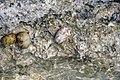 Nerita peloronta (bleeding tooth nerite snails) in a rocky shore intertidal zone (San Salvador Island, Bahamas) (15829533879).jpg