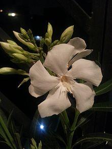 Nerium Oleander Wikipedia La Enciclopedia Libre