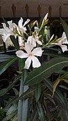 Nerium oleander - πικροδάφνη 04.jpg