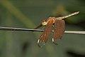 Neurothemis fulvia in Kadavoor.jpg