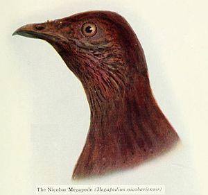 Nicobar megapode