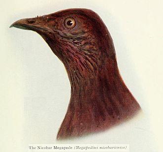 Nicobar megapode - Image: Nicobar Megapode Emu
