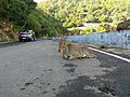 Nilgiri tahr on road IMG20170816082858.jpg