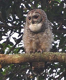 Nkr hessarghatta bangalore perched Mottled wood owl.jpg