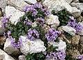 Noccaea rotundifolia 1 MHNT.jpg