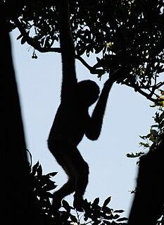 Hainan black crested gibbon species of mammal