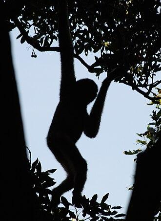 Hainan black crested gibbon - Image: Nomascus nasutus hainanus