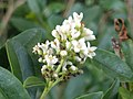 Noordwijk - Wilde liguster (Ligustrum vulgare) - flower.jpg