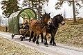 Nordsvenska brukshästar på Hedemora gammelgård.jpg