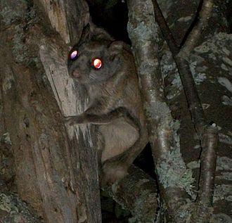 Northern flying squirrel - Northern flying squirrel