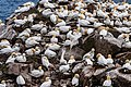 Northern Gannets St Mary Cape Newfoundland (40650853974).jpg