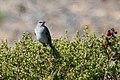 Northern Mockingbird Las Galinas WWTP Marin CA 2018-09-25 11-11-14 (45723139221).jpg