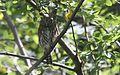 Northern Pygmy Owl - Flickr - GregTheBusker.jpg