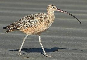 Courlis long bec wikip dia for Oiseau a long bec
