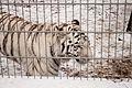 Nyíregyháza Zoo - White tiger-2.jpg
