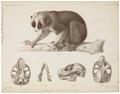 Nycticebus tardigradus - 1867 - Print - Iconographia Zoologica - Special Collections University of Amsterdam - UBA01 IZ20200245.tif