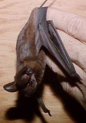 Big free-tailed bat - Image: Nyctinomops macrotus