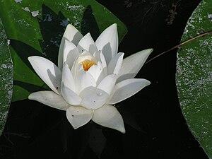 Nymphaea alba - Image: Nymphaea alba 1