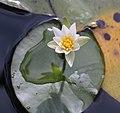 Nymphaea tetragona s2.jpg