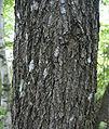 Nyssa sylvatica bark.jpg
