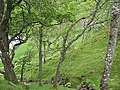 Oak woods beneath Torr Port a' Bhàta - geograph.org.uk - 1349260.jpg