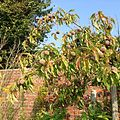 Obst in Siehagen 1095.JPG