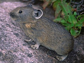 Ochotona hyperborea yesoensis in Mount Nipesotsu.jpg