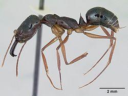 Odontomachus bauri casent0172629 profile 1.jpg