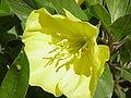 Oenothera missouriensis0.jpg