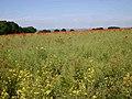 Oilseed rape and poppies - geograph.org.uk - 1925313.jpg