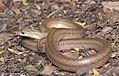 Oligodon huahin, Huahin Kukri snake.jpg