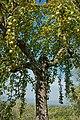 Olivenbaum (Olea europaea) 28.jpg