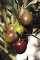 Olives (UOVO PICCIONE) Cl J Weber (8) (22780301089).jpg