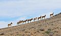 Onagers Negev Mountains 1a.jpg