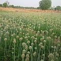 Onions plantation in the northern part of nigeria.jpg