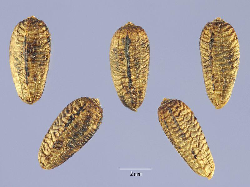 File:Onopordum acanthium - USDA -004.jpg