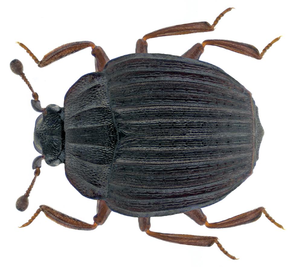 Onthophilus striatus (Forster, 1771)