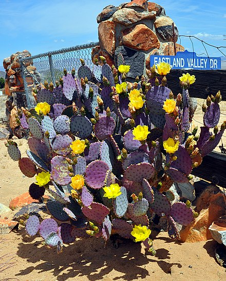 Opuntia engelmannii blooming in Joshua Tree, California Opuntia engelmannii -Yellow Cactus Flower.jpg