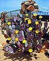 Opuntia engelmannii -Yellow Cactus Flower.jpg