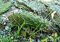 Opuntia polyacantha 1.jpg