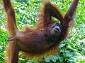 Orang Utan (Pongo pygmaeus) female (8066236689).jpg