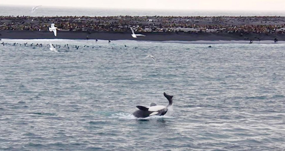 Orca feeding at Bogoslof Island