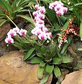 Orchids and Bromeliads Durban Botanic 12 09 2010.JPG