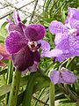 Orchids in Thailand 2013 2723.jpg
