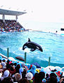 Orcinus orca show in kamogawa sea world.jpg