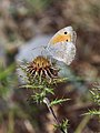 Oriental Meadow Brown (29330232206).jpg