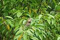 Oriental garden lizard 07378.JPG